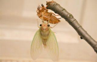 蝉の羽化観察成功編。屋内での観察方法と羽化進行を写真で詳細レポート